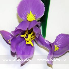ирис цвета фиолетовый 7