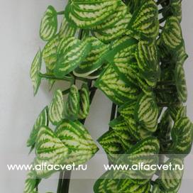 куст (вьющийся) цвета зеленый с белым 34
