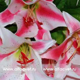 лилии цвета розовый с белым 14
