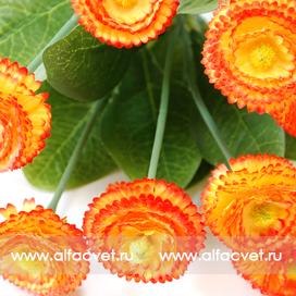 маргаритки цвета оранжевый 2