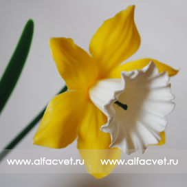 нарциссы цвета белый с желтым 36